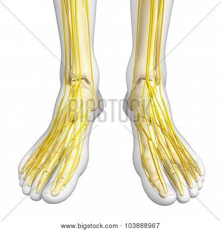 Nervous System Of Foot Skeleton Artwork