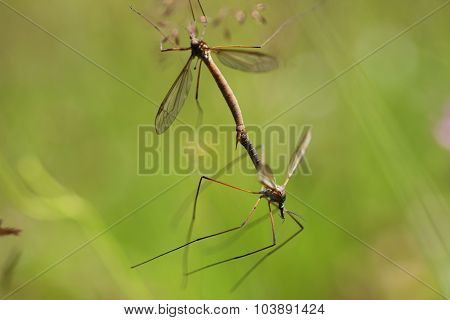 Two mosquito copulating in the grass