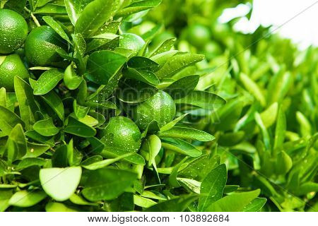 Outdoors Shoot Of Green Fruits And Leafs Of The Tangerine Tree