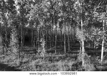 Countryside Of Pavia (italy): Poplars