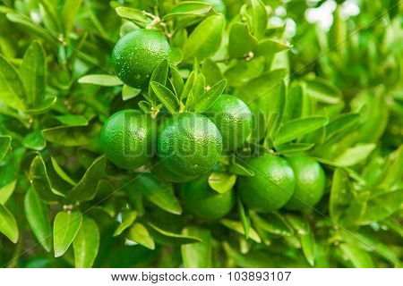 Green Fruits And Leafs Of Tangerine Tree