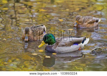 Mallard Ducks In The Water