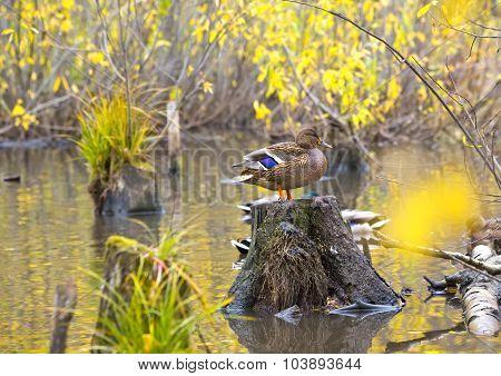 Mallard Duck Standing On A Stump In Pond