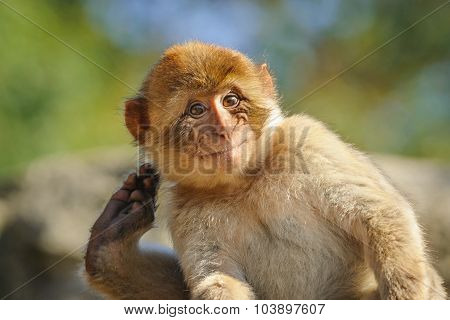 Portrait of a Young Barbary Macaque