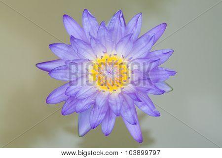 Blossom Blue Lotus Flower