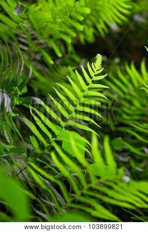 Fern Shrubs In Natural Environment - Pteridium Aquilinum