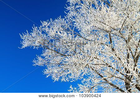 Tree Branches Covered With Snow On Background The Blue Sky
