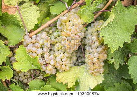 Riesling White Wine Grapesin a Vineyard