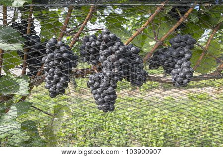 Pinot Noir Red Wine Grapes on the Vine
