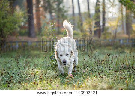 Golden retriever strolls across morning dew.