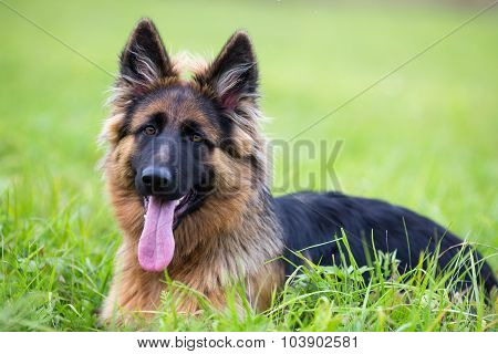 Young dog german shepherd on the grass in the park