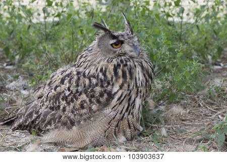 Spotted Owl   Sitting In The Grass