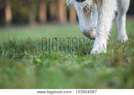 Paws of Golden Retriever strolls across wet grass.