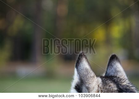 Ears Of Husky From Behind Closeup.
