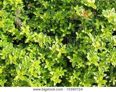 Thyme (Thymus citriodorus). Light-green grassy background