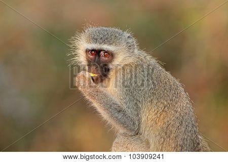 Portrait of a vervet monkey (Cercopithecus aethiops), Kruger National Park, South Africa