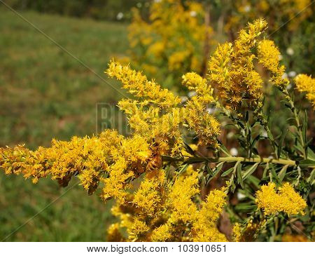 Goldenrod With Honey Bee