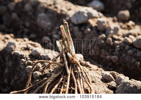 Fresh young asparagus root on field