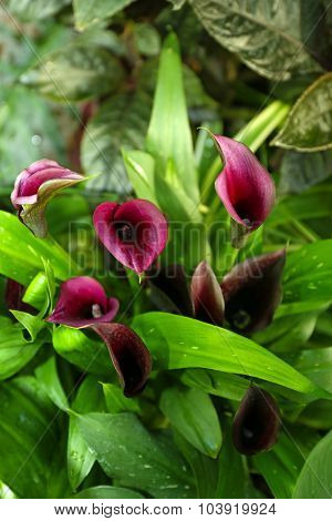 Calla lilies on green background