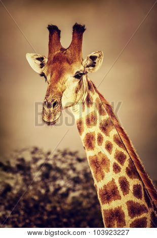 Portrait of cute tall giraffe on sunset, big five, game drive, beautiful wild mammal animal of South Africa
