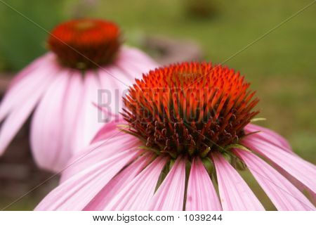 Two Cone Flowers