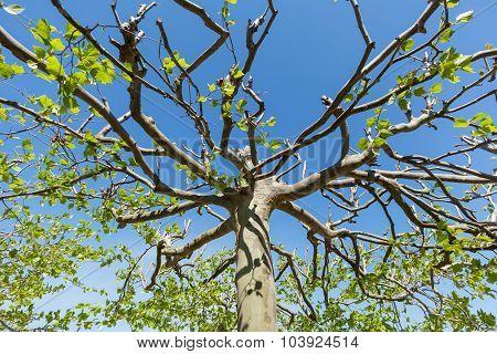 Treetop Of A Plane Tree