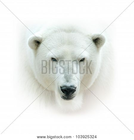 Polar Bear Head Isolated On White Background. High Key