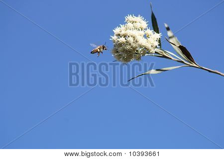 Bee Flying to Flower
