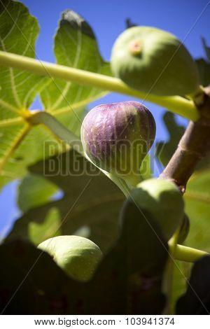 Fig Tree Bearing Fruits