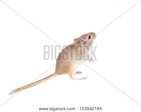 mouse looking up isolated on a white background