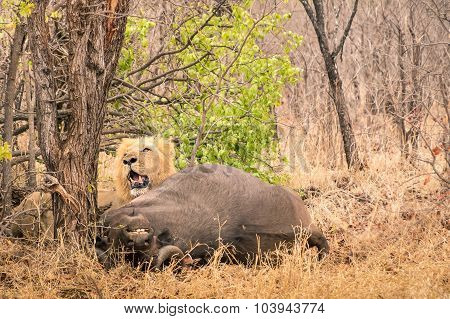 Lion Ready To Eat A Buffalo After Hunting In The Bush Woods In South Africa Savannah