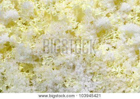 Decorative Cabbage In Snow