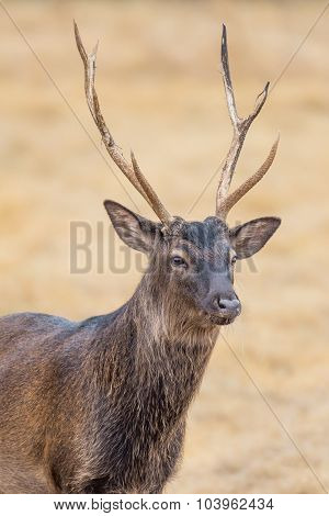 Sika Deer Close Up