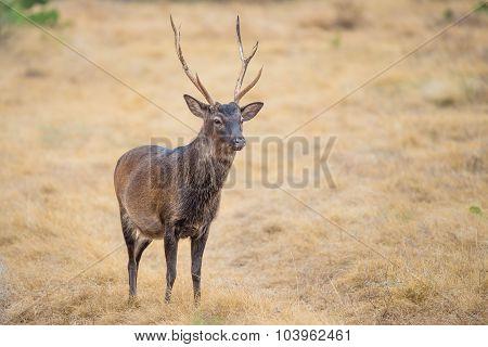 Sika Buck