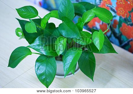 Devil's ivy plant, Scientific name : Ivy-Arum,Golden pothos, Hunter's-robe
