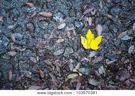 Alone Yellow Maple Leaf On A Road