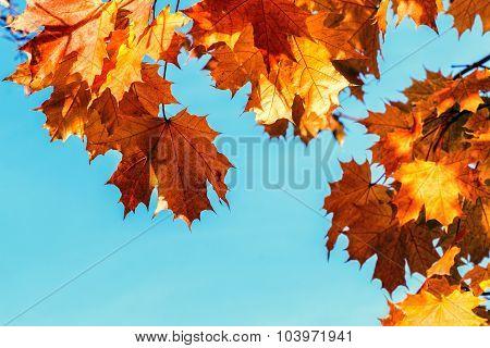 Bright Orange Autumnal Leaves