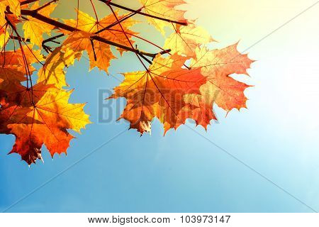 Bright Yellow Autumnal Leaves Background