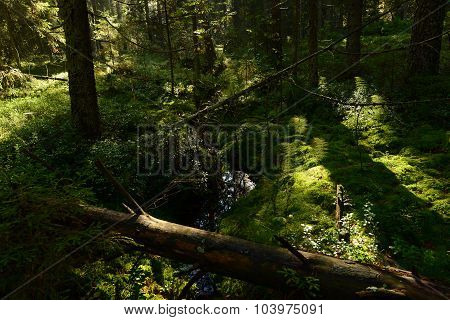 Forest Stream In The Spruce Forest In Autumn Filled With Rainwater