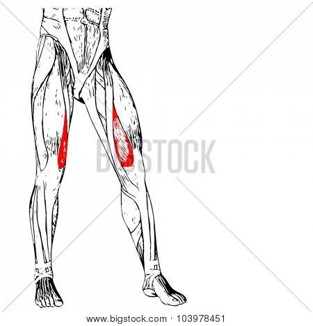 Vector concept or conceptual 3D adductor longus human upper leg anatomy or anatomical and muscle isolated on white background