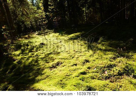 The Autumn Sun Path On The Forest Ground Cover Of Moss