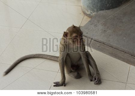 Portrait Image Of Monkey (macaque)