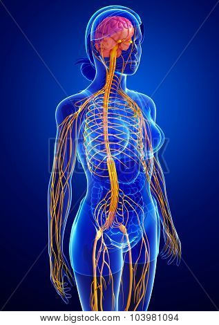 Female Nervous System Artwork