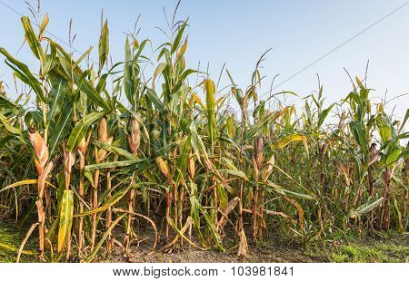 Ripening Fodder Maize Plants In A Row