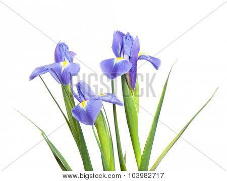 Iris flower isolated on white background