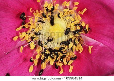 Black beetles on rose flower.