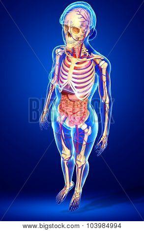 Female Skeletal, Digestive And Circulatory System