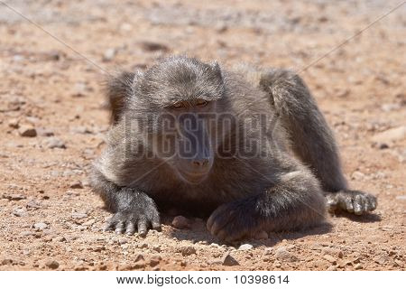 Baboon Grubbing For Food