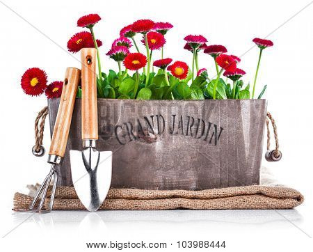 Spring flowers in wooden basket with garden tools. Isolated on white background. Illustration
