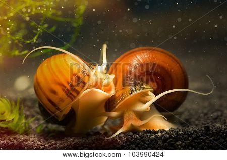 Snails ampulyarii